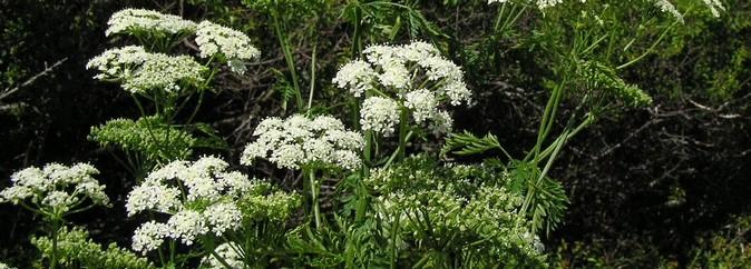 Лечение Болиголовом - описание и свойства растения